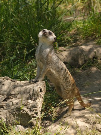 carnivora: Meerkat standing guard and watching for danger in teh sky