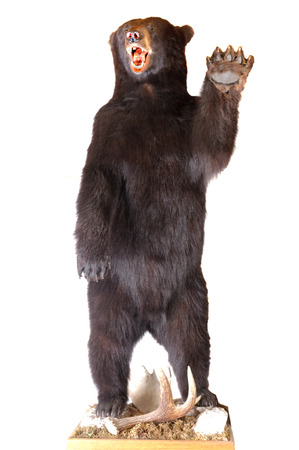 oso negro: Taxidermia de un oso de América del Norte Negro