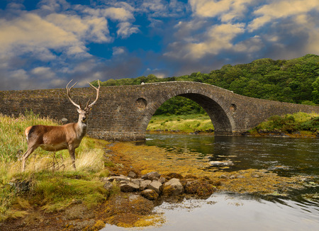 Red Deer stag stading by the Atlantic bridge which spans the Atlantic ocean from Scotlands mainland to the isle of Seil photo