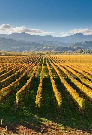 Vineyard in the Marlborough district of New Zealand at sunset Stock Photo