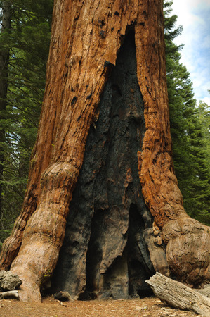 Giant Redwood tree in Mariposa Grove showing burn marks from an earlier fire photo