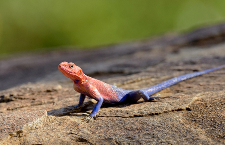 Closeup of Agama lizard using shallow depth of field (scientific name: Agama agama or Mjusi kafiri in Swaheli) in the Serengeti National park, Tanzania Stock Photo