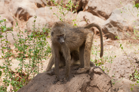 Closeup of Olive Baboons (scientific name: papio anubis, or Nyani in Swaheli) image taken on Safari located in the SerengetiTarangire, Lake Manyara, Ngorogoro National park in the East African country of Tanzania