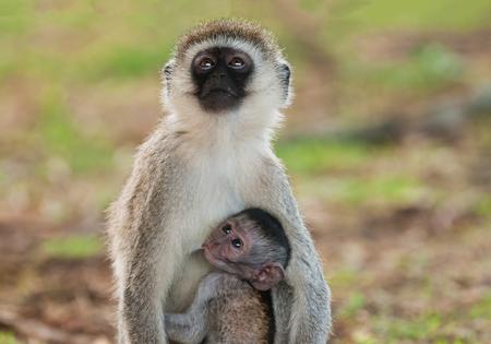 Vervet Monkey with baby suckling  (Scientific name:cercopthecus aethiops, or Tumbiili in Swaheli), Tarangire National Park in Tanzania Zdjęcie Seryjne