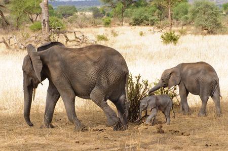 Closeup of African Elephant (scientific name: Loxodonta africana, or Tembo in Swaheli) in the Tarangire National park, Tanzania Stock Photo