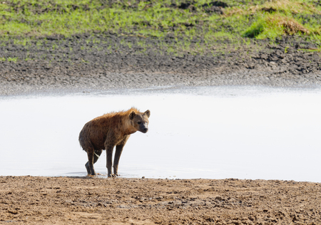 Closeup of Spotted Hyena getting out of a pond where it cooled off (scientific name: cCrocuta crocuta, or Fisi madoa in Swaheli) in the Tarangire National park, Tanzania Stock Photo