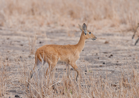 Closeup of female Reedbuck (scientific name: Redunca redunca, or Tohe ndope in Swaheli) in the Tarangire, National park, Tanzania