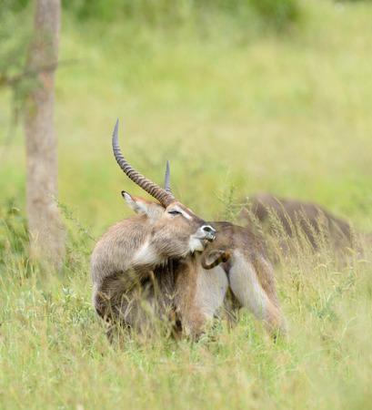 Closeup of Waterbuck (scientific name: Kobus ellipsiprymnus, or Kuru in Swaheli) in the Serengeti park, Tanzania Stock Photo