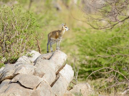 Klipspringer (scientific name: Oreotragus oreotragus , or Mbuzi Mawe in Swaheli) in the Serengeti National park, Tanzania