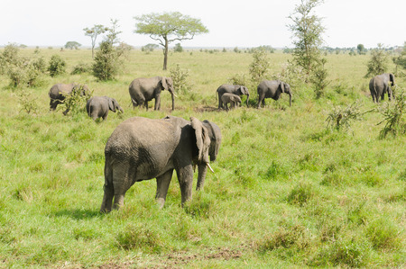 African Elephant  herd (scientific name: Loxodonta africana, or Tembo in Swaheli) in the Serengeti National park, Tanzania Stock Photo