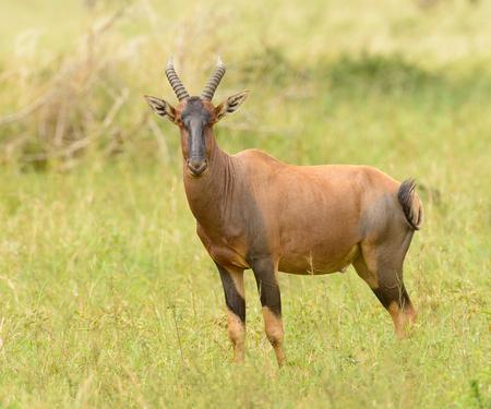 Topi antelope (scientific name: Damaliscus lunatus jimela or Nyamera in Swaheli) in the Serengeti National park, Tanzania Stock Photo
