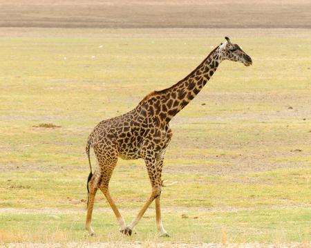 Closeup of Masai Giraffe (scientific name: Giraffa camelopardalis tippelskirchi or Twiga in Swaheli) n the Lake Manyara National park,Tanzania Banco de Imagens