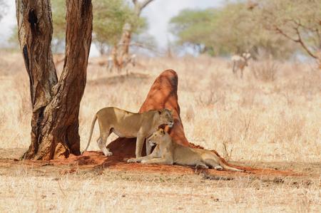 Closeup of a  Lion pride (scientific name: Panthera leo, or Simba in Swaheli) image taken on Safari located in the Tarangire National park, Tanzania Stock Photo