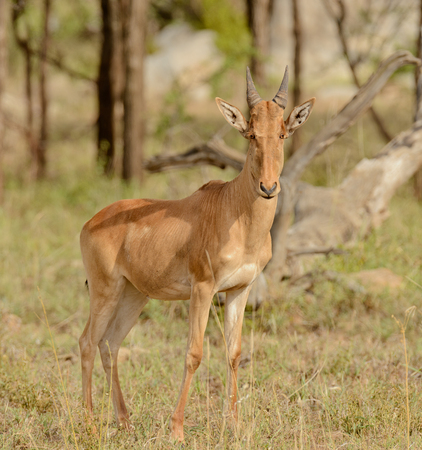 Closeup of Cokes Hartebeest (scientific name: Connochaetes taurinus or Kongoni in Swaheli) in the Serengeti National park, Tanzania
