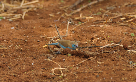 Blue-breasted Cordon bleu or Blue waxbill  a diminutive finch in the Tarangire National Park Stock Photo