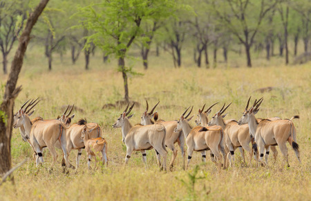 group of Eland (scientific name: Taurotragus oryx or Pofu in Swaheli) in the Serengeti National park, Tanzania Stock Photo