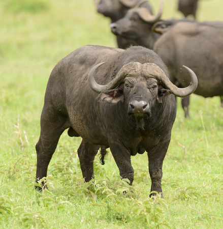 Closeup of Buffalo (scientific name: Syncerus caffer or Nyati or Mbogo in Swaheli) in the Serengeti National park, Tanzania