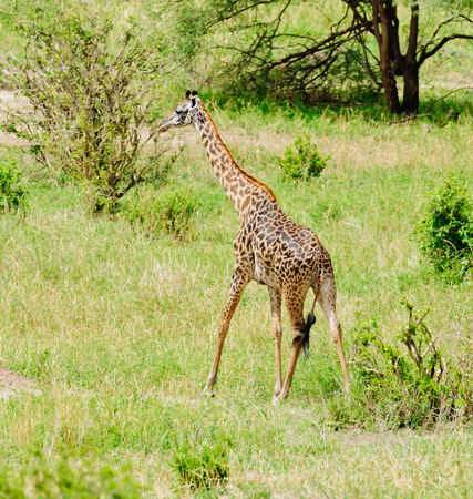 Closeup of Masai Giraffe (scientific name: Giraffa camelopardalis tippelskirchi or Twiga in Swaheli) in the Tarangire National park, Tanzania