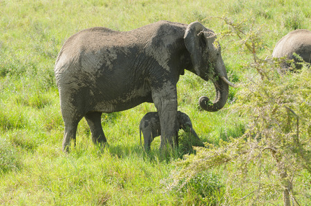 African Elephant  potecting her young (scientific name: Loxodonta africana, or Tembo in Swaheli) in the Serengeti National park, Tanzania