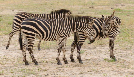 group of Burchells Zebra or Boehms zebra (scientific name: Equus burchelli, subspecies Equus burchelli boehmi or
