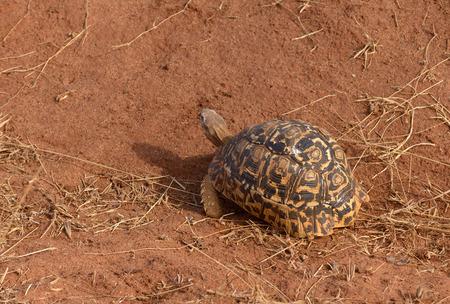 Closeup of Leopard tortoise (scientific name: Testudo pardalis, or