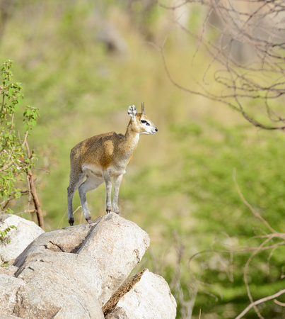 Closeup of Klipspringer in the Serengeti National park, Tanzania