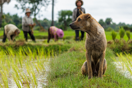 SIEM REAP, CAMBODIA - 9122015: A dog watches rice farmers working in the fields. Editorial