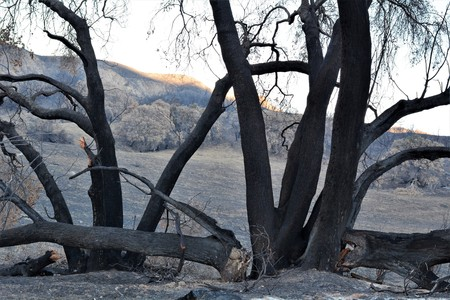 tress damaged by forest fire