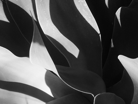 Agave black and white abstract Banco de Imagens