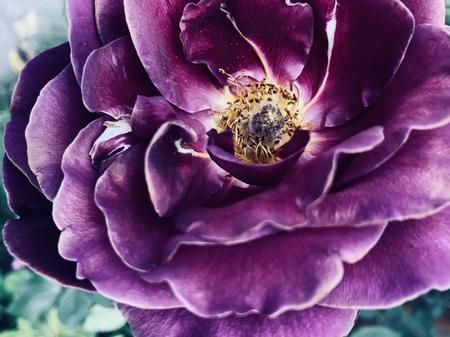Faded Rose still beautiful