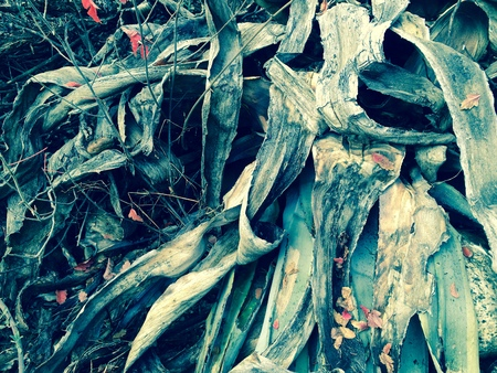 Decaying Agave