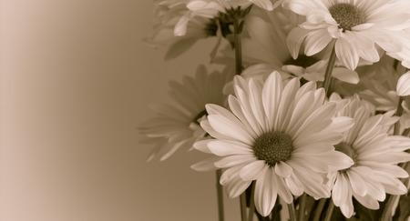 Chrysanthemums Stok Fotoğraf