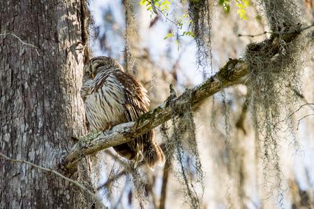 barred: Barred Owl