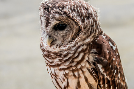 speckle: Barred Owl Close-up