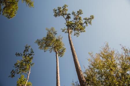 pine trees: Pine Trees and Blue Sky Stock Photo