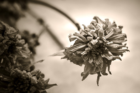 Drooping, Dried Flower