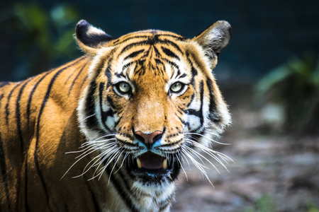 Close up of big feline wildcat Malayan tiger with beautiful stripe fur