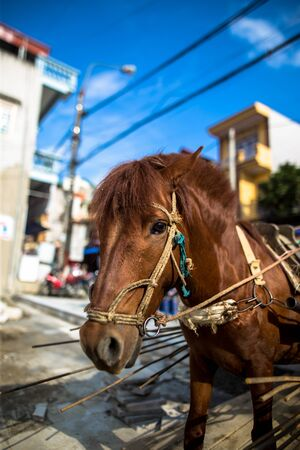 Country horse in harness found in the street of Bac Ha Market near Sapa Vietnam Asia