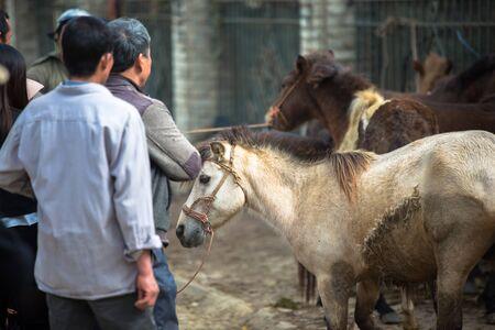 Horse livestock trading in Bac Ha market in the rural town of Lao Cai near Sapa Vietnam Asia