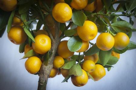 Close up of Calamondin Tree photo