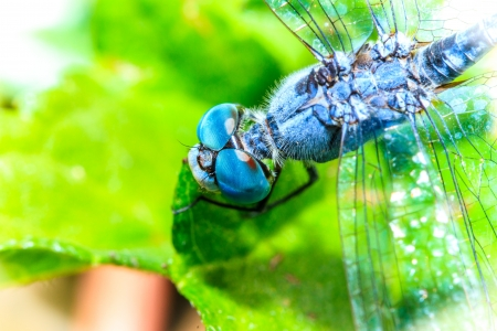 Dragonfly Blue photo