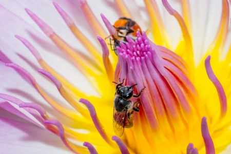 lotus flower and bee Stock Photo - 21440863