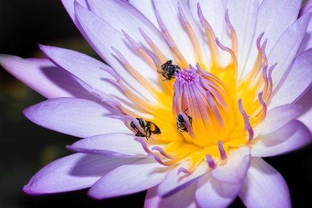 lotus flower and bee photo