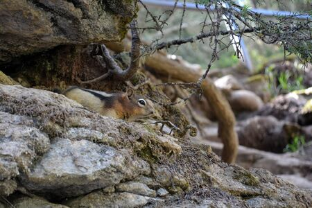 Chipmunk camouflaged in its natural environment in the mountains