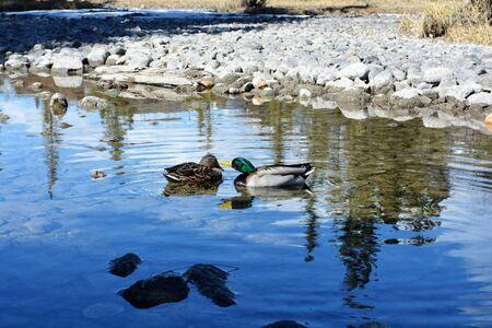Mallard duck couple playing in a stream