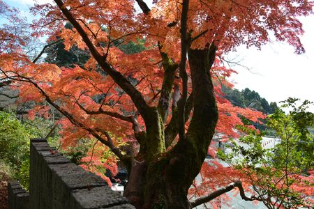 Massive Ancient Japanese Maple Tree with Red Leafs