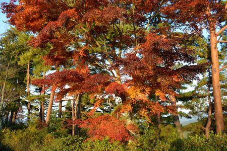 Japanese maple tree leafs in the fall. Standard-Bild