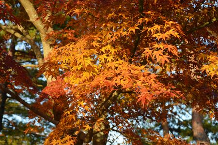 Japanese maple tree leafs in the fall. 写真素材