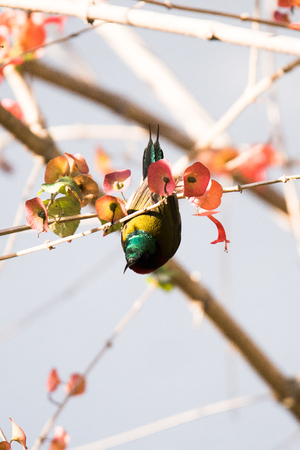 leaf close up: Fork-tailed Sunbird perched on a tree branch with green leaves