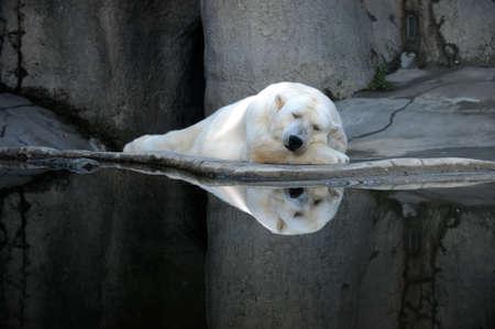 A sleeping polar bear at a zoo.  Stock Photo